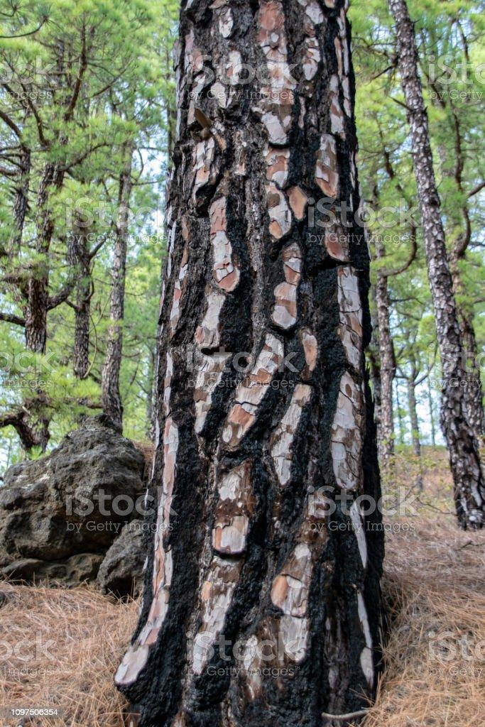 Crescimento através de tronco de árvore queimada de Canárias ilha Pinheiro (Pinus canariensis) na ilha de La Palma, Ilhas Canárias, Espanha - foto de acervo