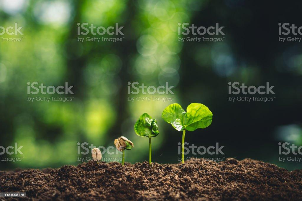 Wachstumsbäume Konzept Kaffeebohnen Setzlinge Natur Hintergrund schön grün – Foto