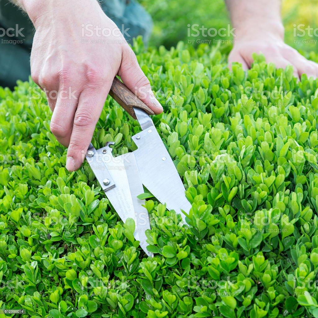 Gärtner schneidet buchsbaum stock photo
