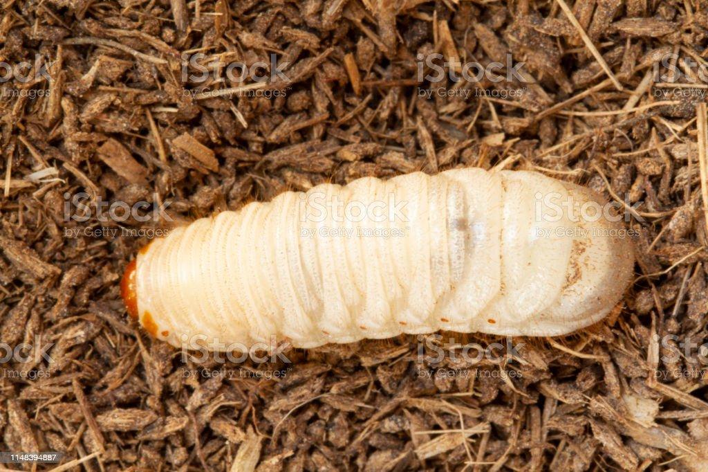 Grub Worms Coconut Rhinoceros Beetle Larva On Soil Background Stock Photo Download Image Now Istock
