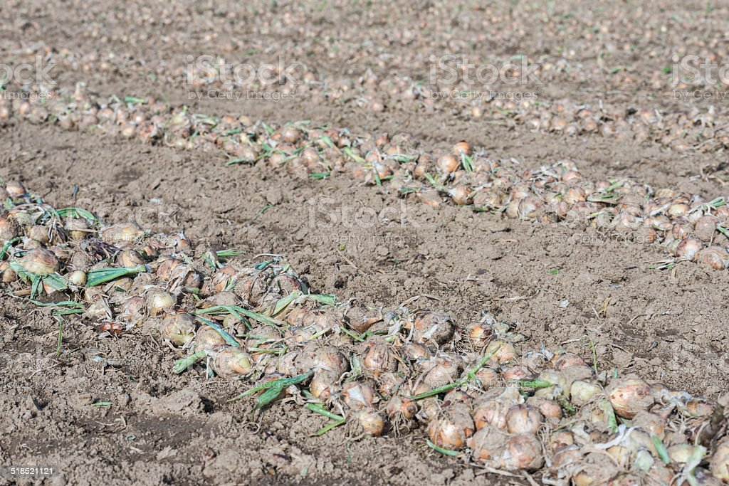 Grubbed onions drying in the sun stock photo