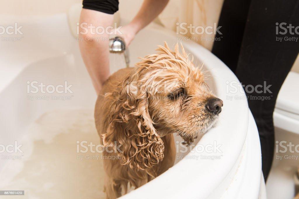 Grumer washes dog stock photo