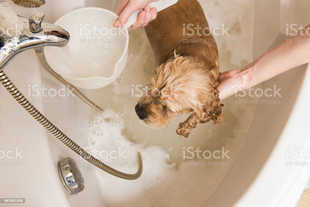 Grumer washes dog with foam and water stock photo