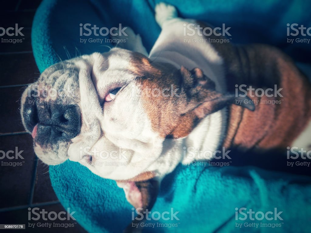 grumpy bulldog with evil eyes stock photo