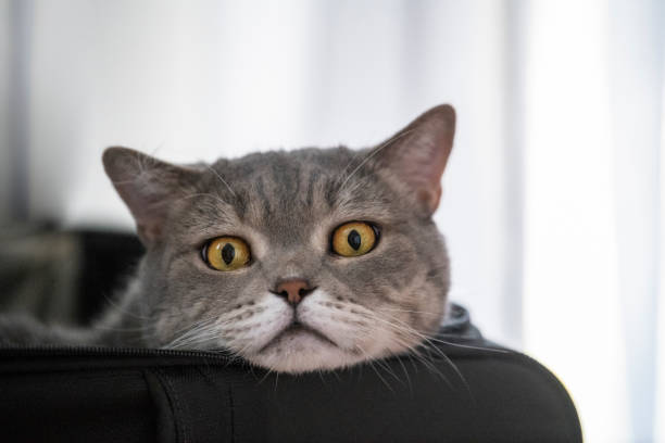 Grumpy cat in the travel suitcase picture id991002136?b=1&k=6&m=991002136&s=612x612&w=0&h=inj3wlcdinwvcjlmpcbeax9zscw1bmhhikql7 1bvjw=
