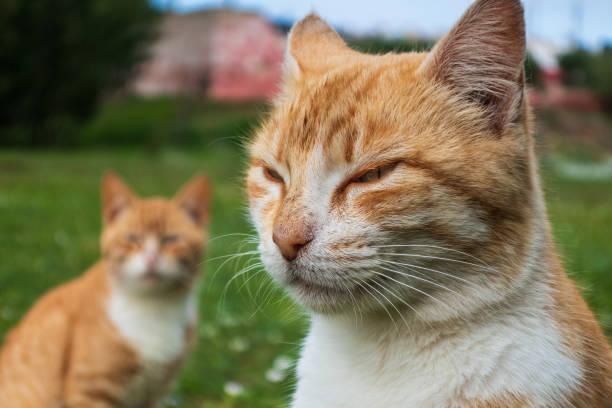 Grumpy Cat stock photo