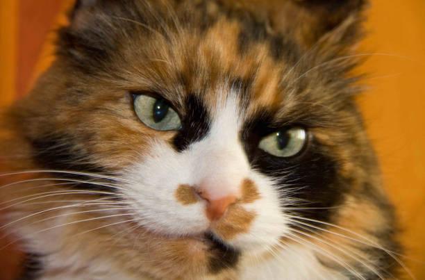 grumpy cat - batalina cats стоковые фото и изображения