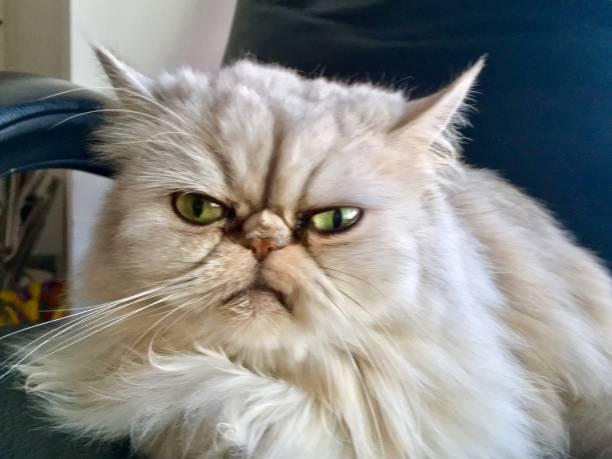 Grumpy cat posing for the photo stock photo