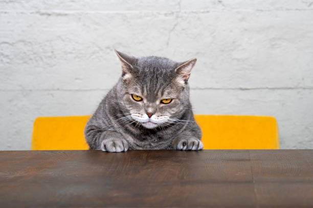 Grumpy cat tryingto climb on the table picture id991090498?b=1&k=6&m=991090498&s=612x612&w=0&h=n2chs8s3bwk3f3adeoeme8eocvnzbyxiopu5fskwuis=