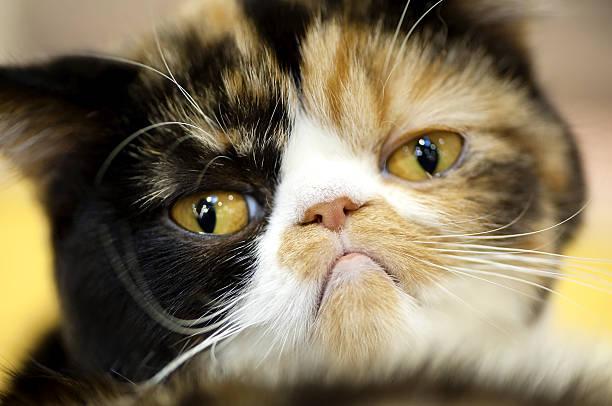 grumpy Exotic tortoiseshell cat portrait stock photo