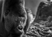 A moody gorilla eyes up his competition