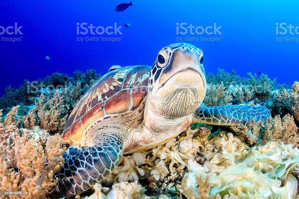 Grumpy Green Turtle stock photo