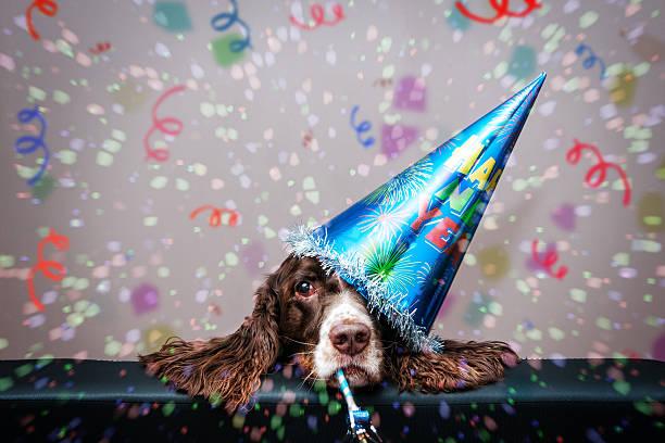 grumpy neue jahr hund - silvester mit hund stock-fotos und bilder