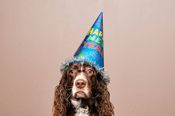 Grumpy new year dog picture id500706760?b=1&k=6&m=500706760&s=612x612&w=0&h=bzoebqtm7q9rcuoruc6ksxn4e9qplxtje1ggjb632ca=