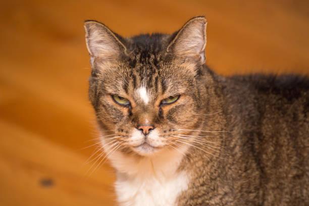 Grumpy old cat glaring at camera picture id945931308?b=1&k=6&m=945931308&s=612x612&w=0&h=tqzbyujcms1pja crjhaglvlqb2rm5cc6mrapsbr lo=