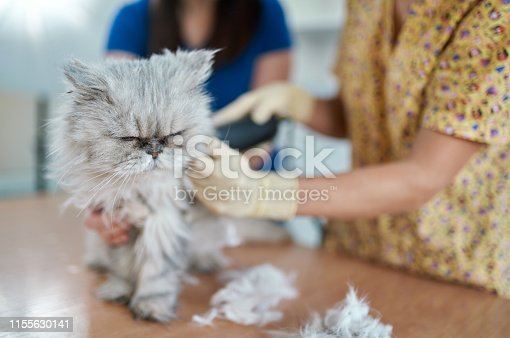 Old Persian cat is brought for examination and trimming in a veterinary clinic. The grumpy cat is displeased (on foreground). A woman veterinarian is cutting the overgrown cat hair using the hair clipper. A woman owner is keeping and calming her pet. Shooting in a veterinary office