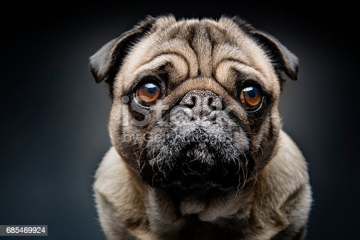 Close up portrait of a grumpy Pug who has a very sad look on his face. Photographed against a dark background. Colour, horizontal with some copy space.