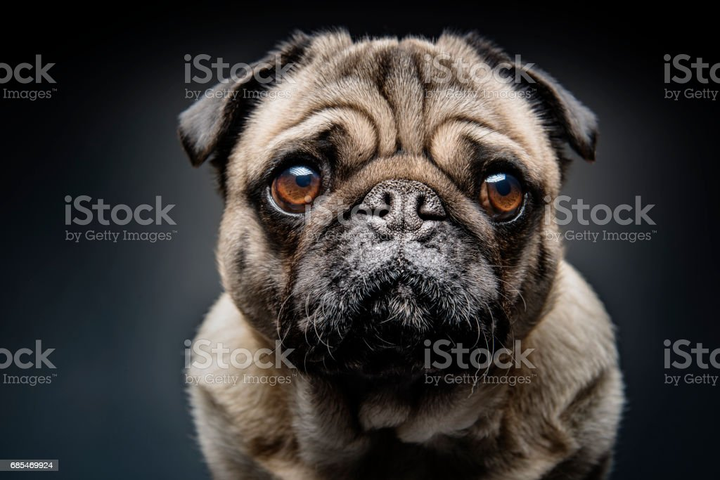 Grumpy Pug With a Very Sad Face stock photo