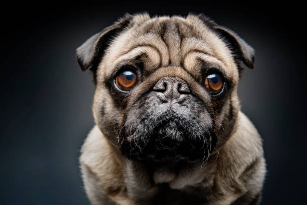 Grumpy Pug With a Very Sad Face Close up portrait of a grumpy Pug who has a very sad look on his face. Photographed against a dark background. Colour, horizontal with some copy space. pleading stock pictures, royalty-free photos & images