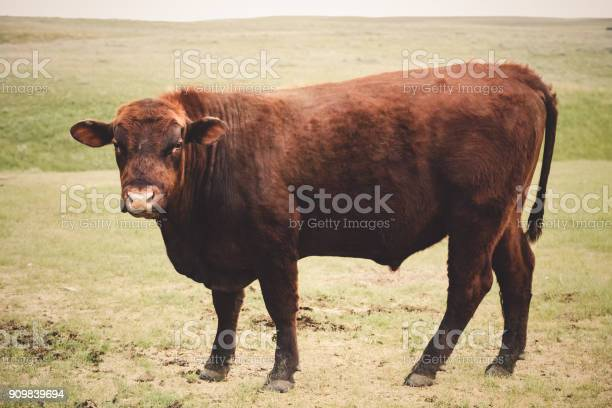 A large Red Angus bull standing on a Montana prairie close to and looking toward camera.