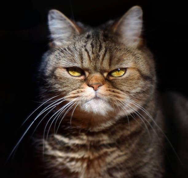 Grumpy tabby serious british cat on a black background picture id649503474?b=1&k=6&m=649503474&s=612x612&w=0&h=z2xvuxgzvs69zipknjdf3 jbig gudunrnutzwfpdhm=