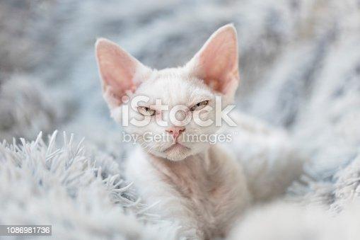 istock A grumpy white Devon Rex kitten 1086981736