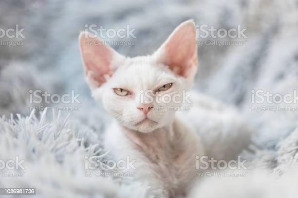 Grumpy white devon rex kitten picture id1086981736?b=1&k=6&m=1086981736&s=612x612&h=psjeqg94klrvk0l gipqarnwigi6 sadjqzh lpki6e=