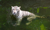 Tiger in water. White Bengal tiger taking bath in a river looking displeased
