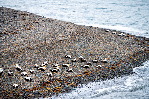 Grundarfjordur, Iceland town in Snaefellsnes peninsula with many Common eider birds resting on sea shore high angle view