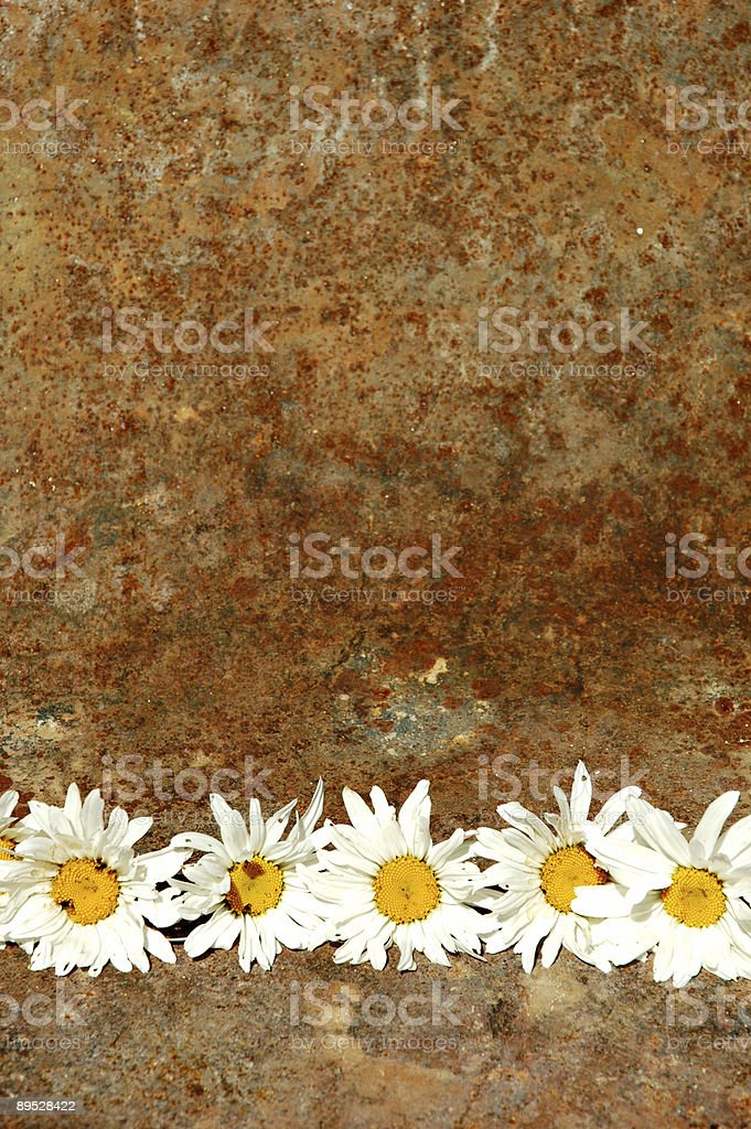 Grunge Daisy royalty-free stock photo