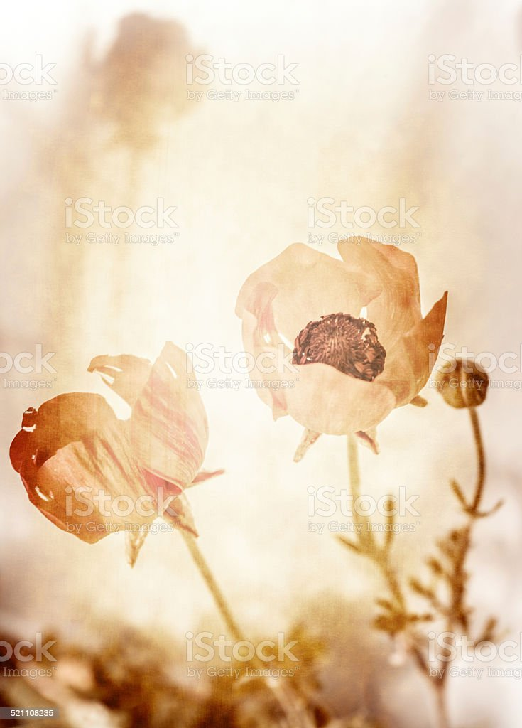 Grunge photo of poppy flowers stock photo