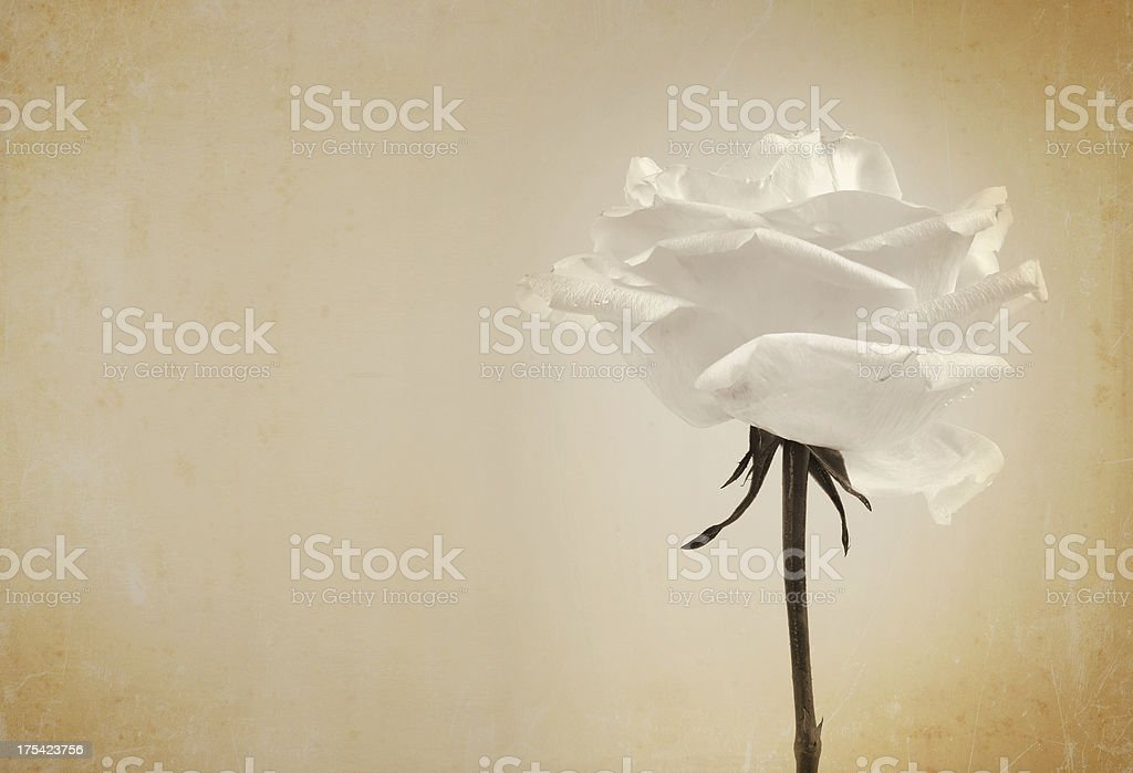 grungy rose royalty-free stock photo