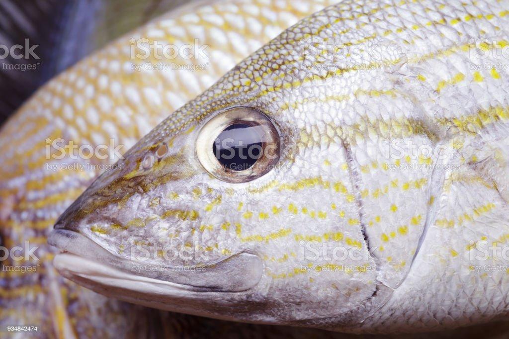 Grunt fish stock photo