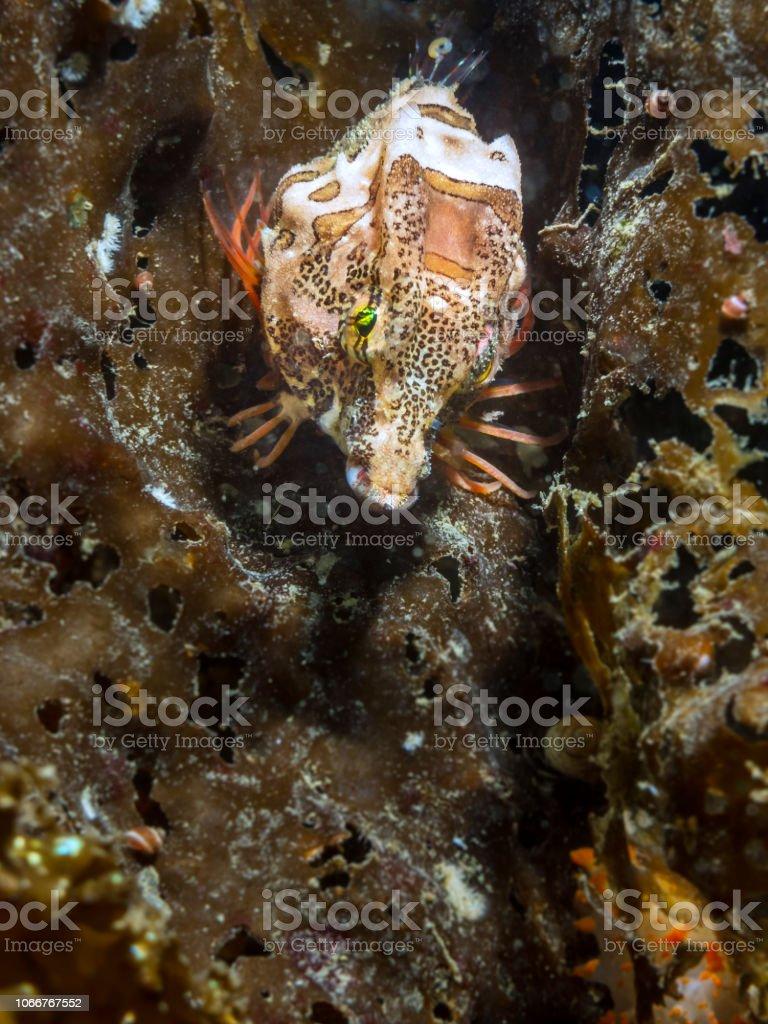 Grunt Sculpin (Rhamphocottus richardsonii) stock photo