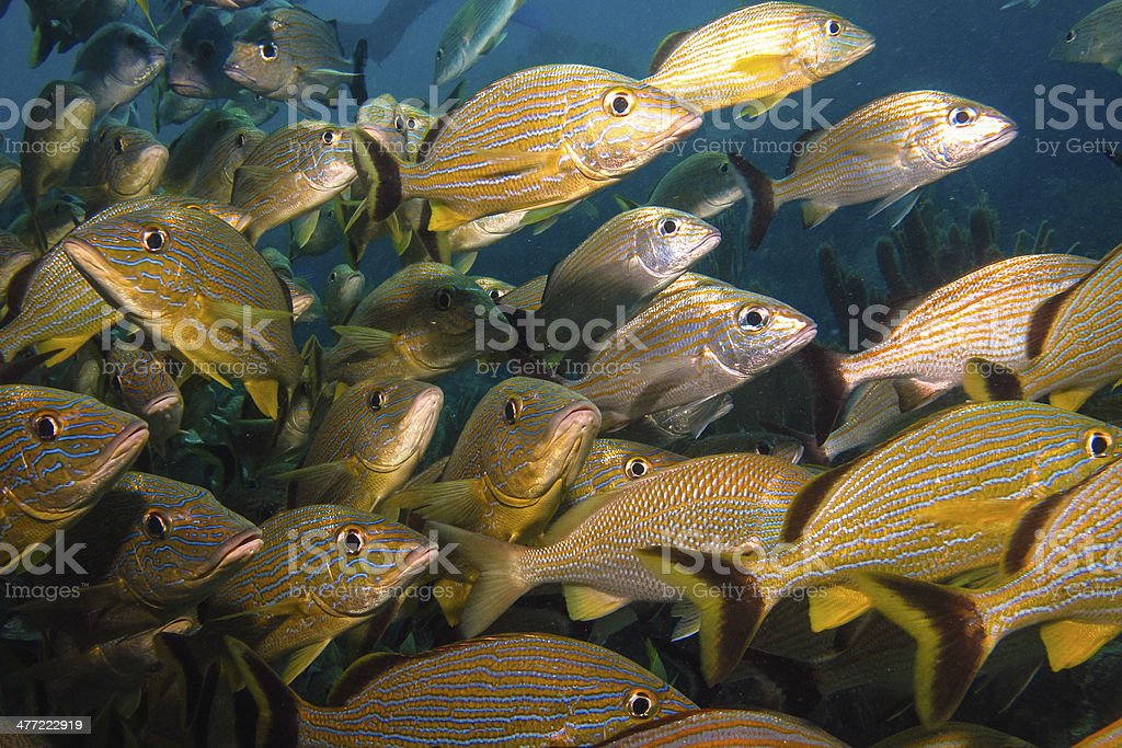 Grunts and snappers - Royalty-free Animal Stock Photo