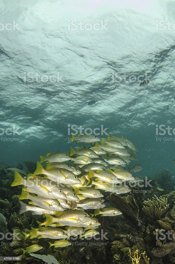 Grunts and snappers royalty-free stock photo