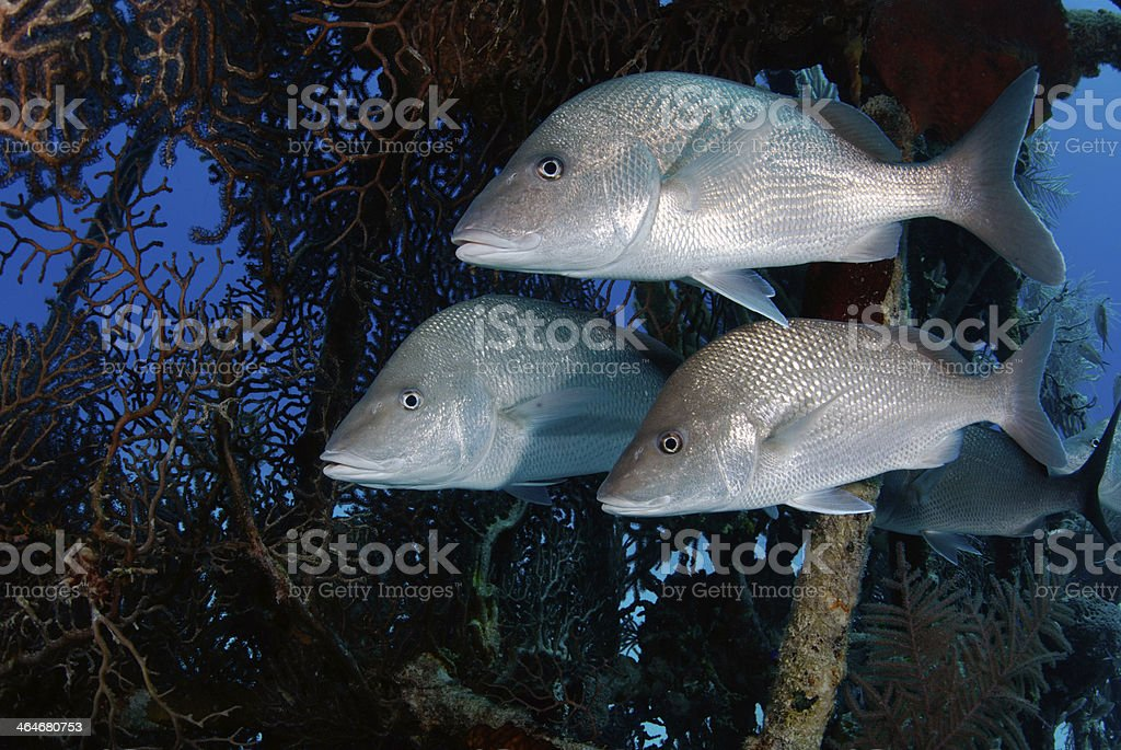 Grunts with Coral background stock photo