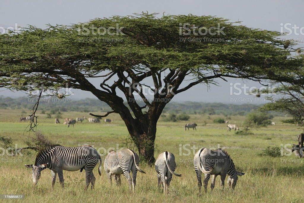 Grévy's, Imperial Zebra (Equus grevyi) and Acacia stock photo