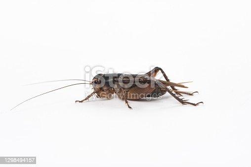 istock Gryllidae , Cricket isolated on white background. 1298494157