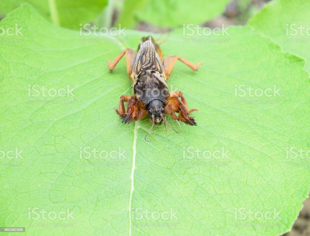Gryllotalpa gryllotalpa On piece of grass. Pest of garden plantations. stock photo