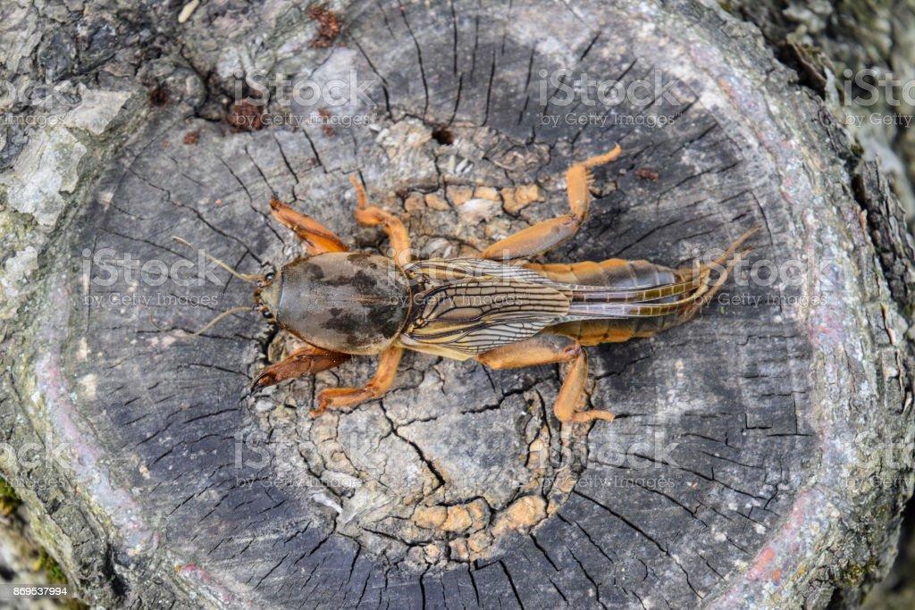 Gryllotalpa gryllotalpa On the cut of the old stump. Pest of gar stock photo