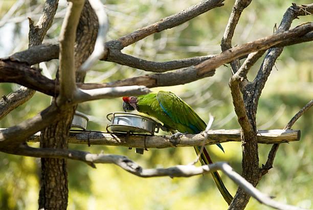 guacamaya militar papagei in puebla - urbanara stock-fotos und bilder