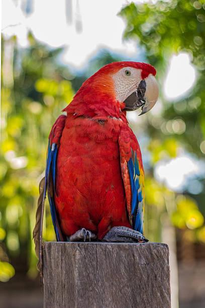 Guacamaya plumas, ave, naturaleza, animal, ala, colores, madera Feathers, bird, nature, animal, Wing colors wood alas stock pictures, royalty-free photos & images