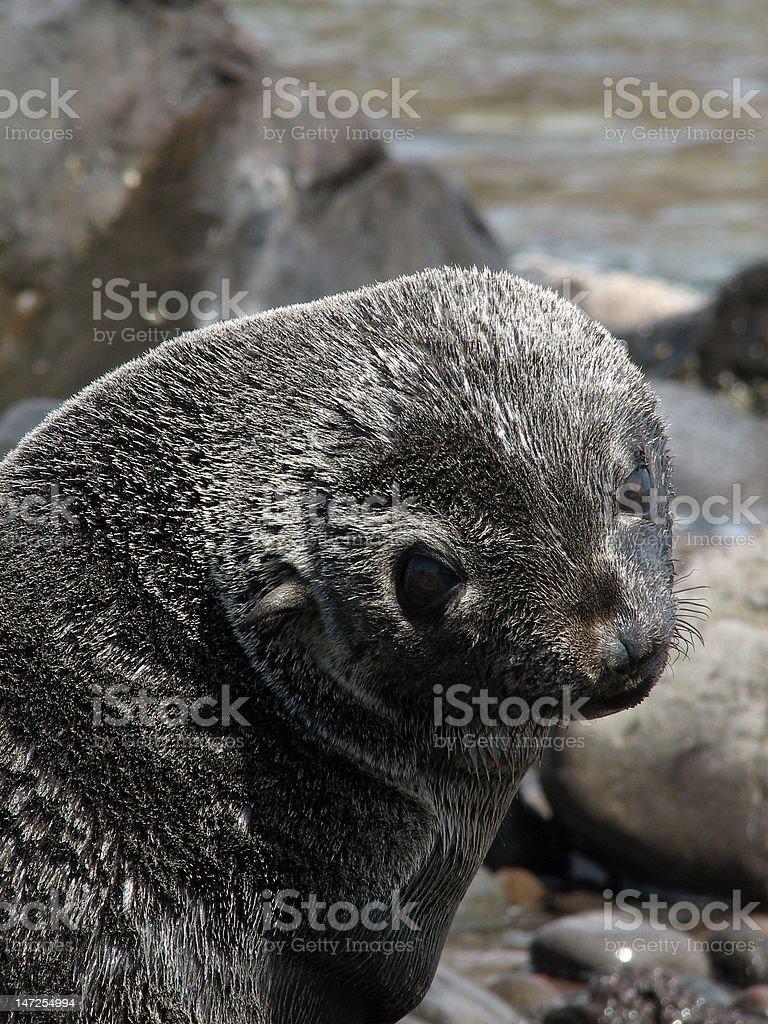 Guadalupe Fur Seal stock photo