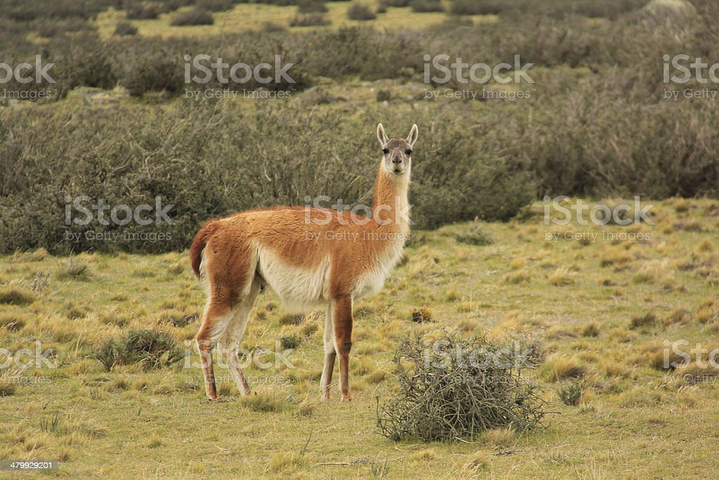 Guanaco at Torres del Paine stock photo