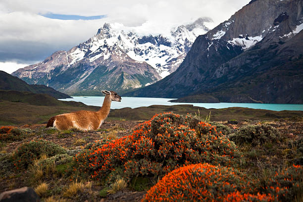 Guanaco at Torres del Paine XXXL stock photo