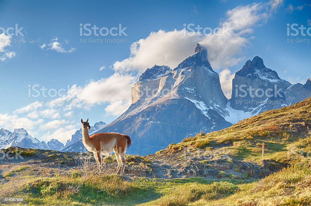 Guanaco in Chilean Patagonia royalty-free stock photo