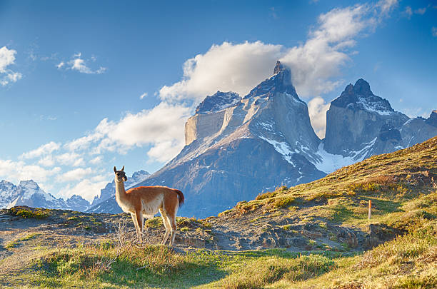 Guanaco in Chilean Patagonia stock photo