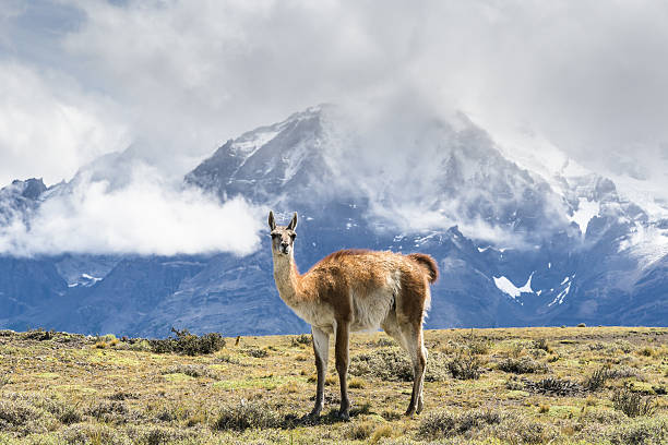 Guanaco in front of Torres del Paine National Park, Patagonia - foto de stock