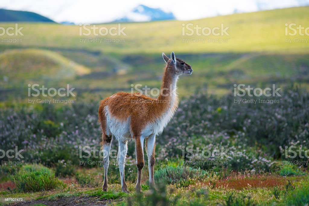 Guanaco in Torres del Paine National Park, Chile stock photo